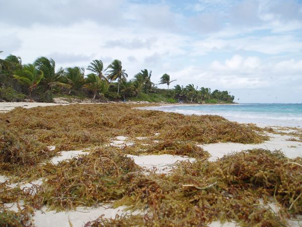 Strong wind and heavy rain brought lots of seaweed to Flamenco Beach .