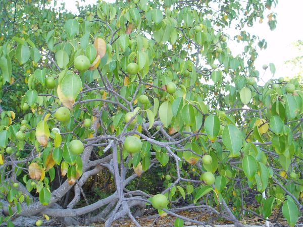 The Manchioneel tree produces a fruit resembling a small green apple, which is highly poisonous. Do not eat it!!!