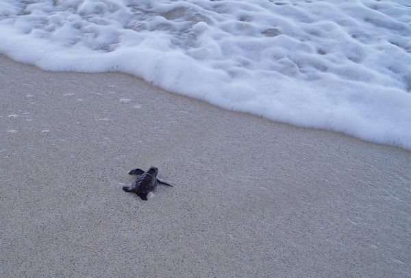 Just Hatched!!! I saw this baby turtle after morning walk. God bless you, little baby turtle!