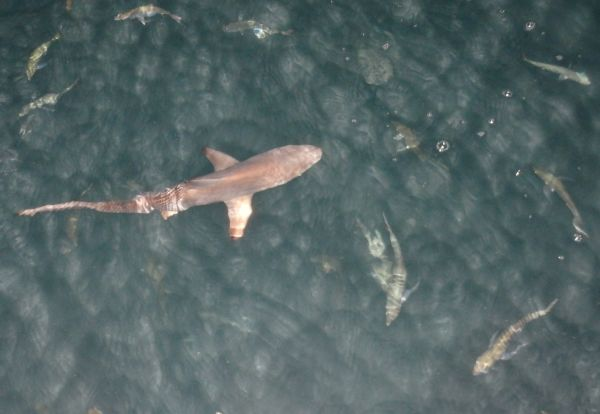 Small Shark (About 2 Feet) and Many Small Fish Right Behind of the Boat