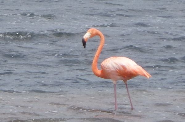 Flamingo Bird in Salt Pond