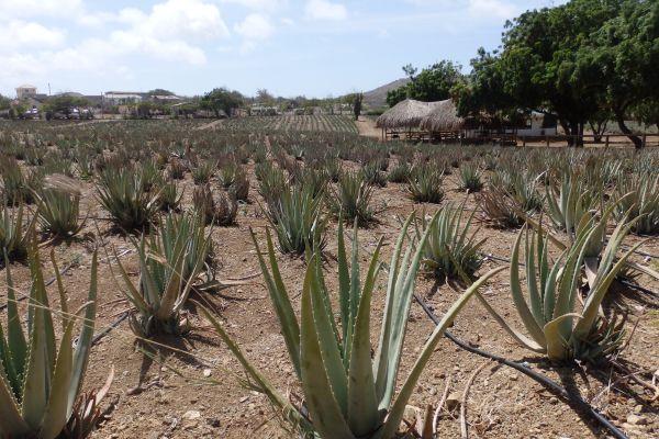 Aloe Plantation in Curacao