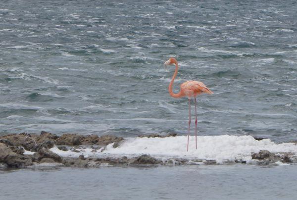 Pink Flamingo Bird in Salt Pond