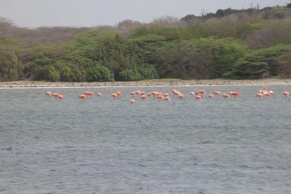 Pink Flamingo Birds in Jan Thiel Natural Preserve