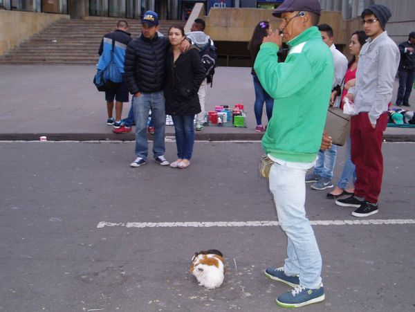 Guinea pigs getting ready to race on the street in Bogota