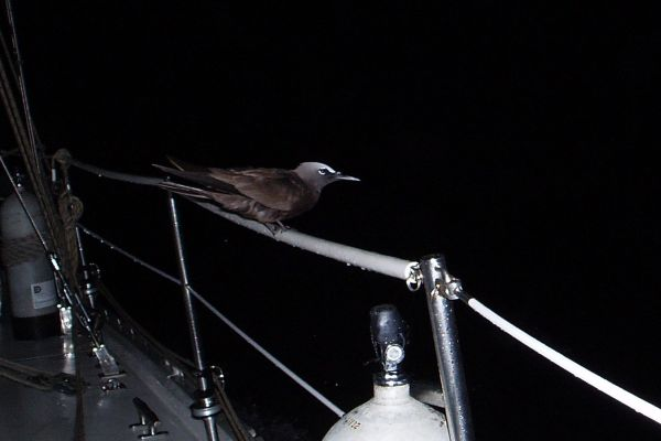 At dark, I saw a bird resting on the rail while we were sailing at rough sea to Providencia, Colombia.