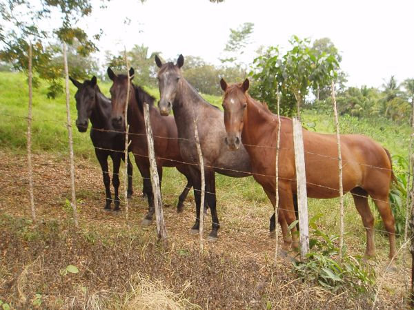 Horses in Tijax Marina Resort Property, Rio Dulce, Guatemala