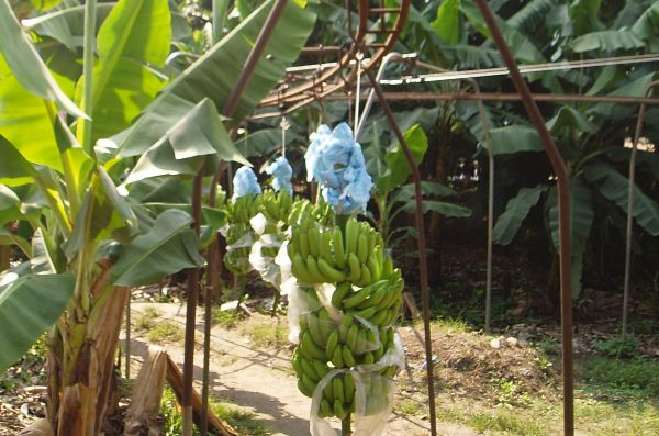 Banana Conveyor Belt in Plantation