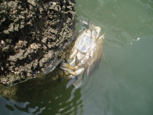 Mating Crabs at Morehead City Yacht Basin Marina, North Carolina, USA