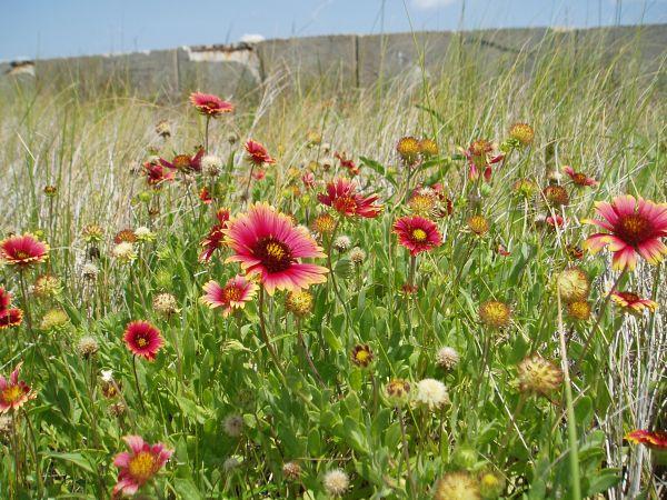 Flowers on Masonboro Island Nature Preserve, North Carolina, USA