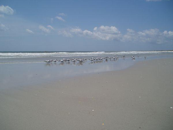 Little Sandpiper Birds on Masonboro Island Beach, North Carolina, USA