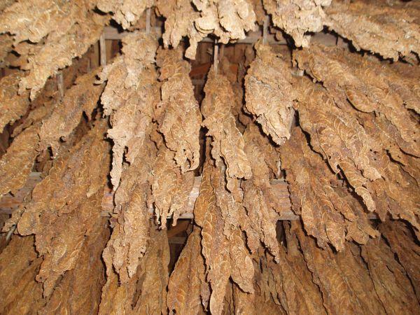 Dried Virginia Tobacco at 'American Revolution Museum at Yorktown', Virginia, USA